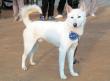世界の名犬として認定された珍島犬(진돗개)