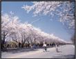 4月のソウルで桜が一番美しい汝矣島桜祭り(여의도 벚꽃축제)